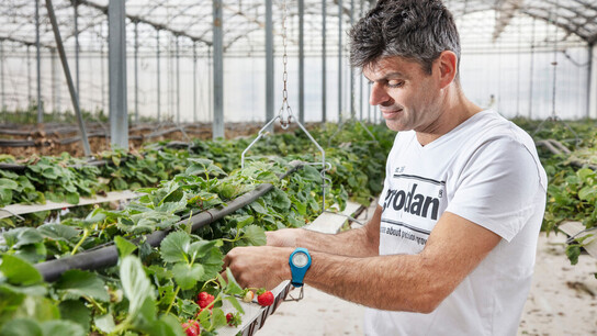 Grodan, greenhouse, grower, strawberries, GroSens, customer, Frédéric Garcia